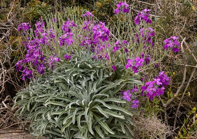 Hoary stock (Matthiola incana) in flower and fruit