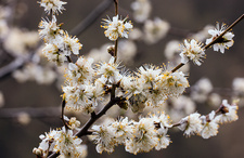 Marmot plum (Prunus brigantina) tree in flower