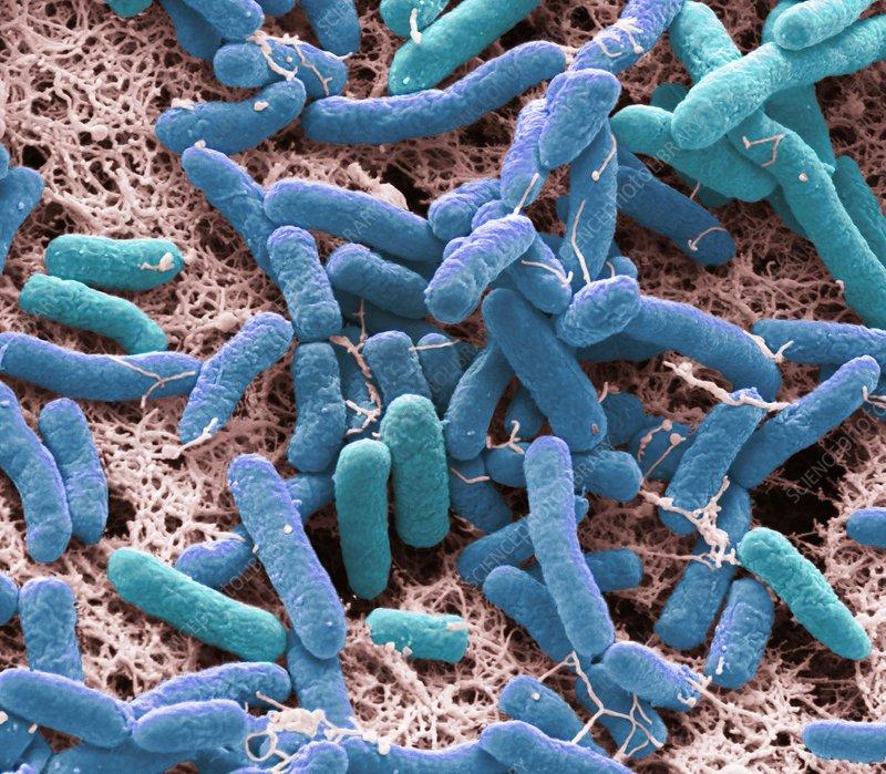Pseudomonas bacteria, SEM