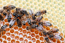 Honey bees filling honey comb
