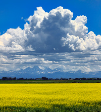Rapeseed field and Grand Teton Mountains, USA