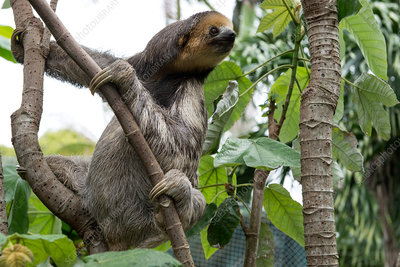 Pale-throated three-toed sloth