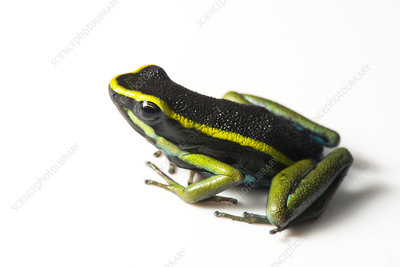 Three striped poison dart frog