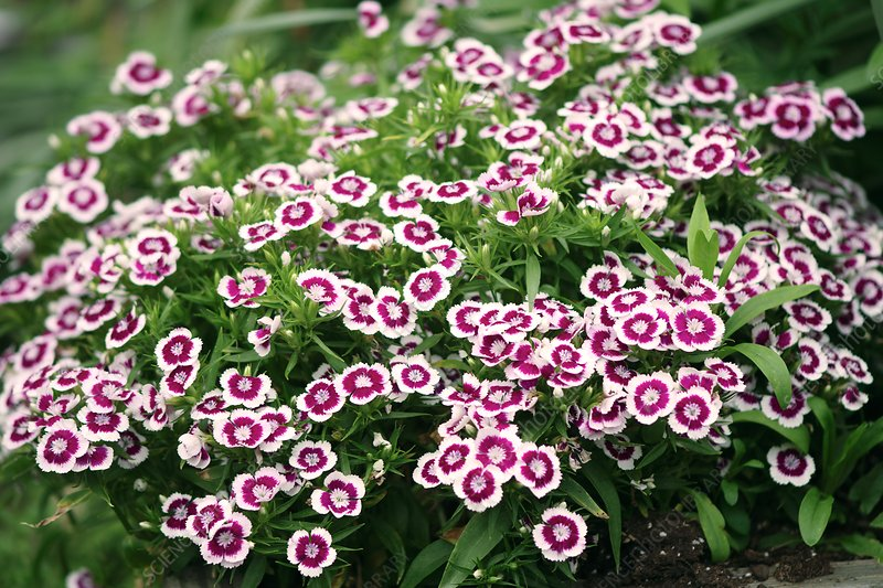 Sweet William (Dianthus barbatus) flowers