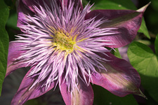 Clematis 'Crystal Fountain' flower