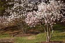 Magnolia stellata 'Royal Star' trees