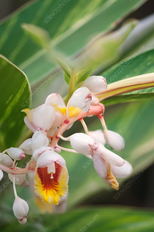 Shell ginger (Alpinia zerumbet) flowers