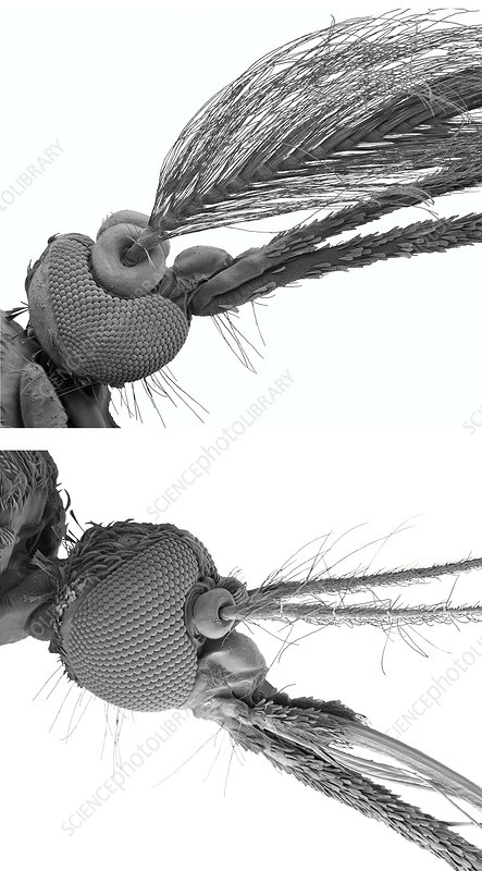 Male and female mosquito heads, SEM