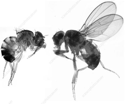 Normal and mutant fruit fly, LM