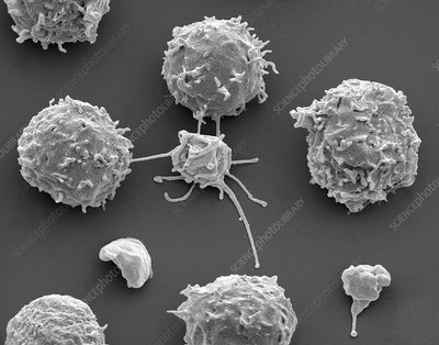 White blood cells and platelets, SEM