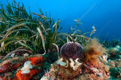 Sea urchin and seagrass on reef