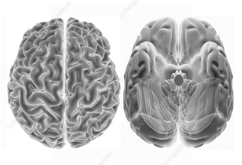 Human brain from above and below, 3D MRI scans