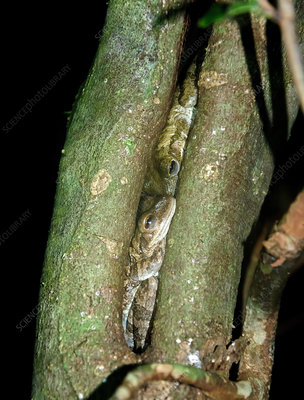 Cuban Tree Frogs