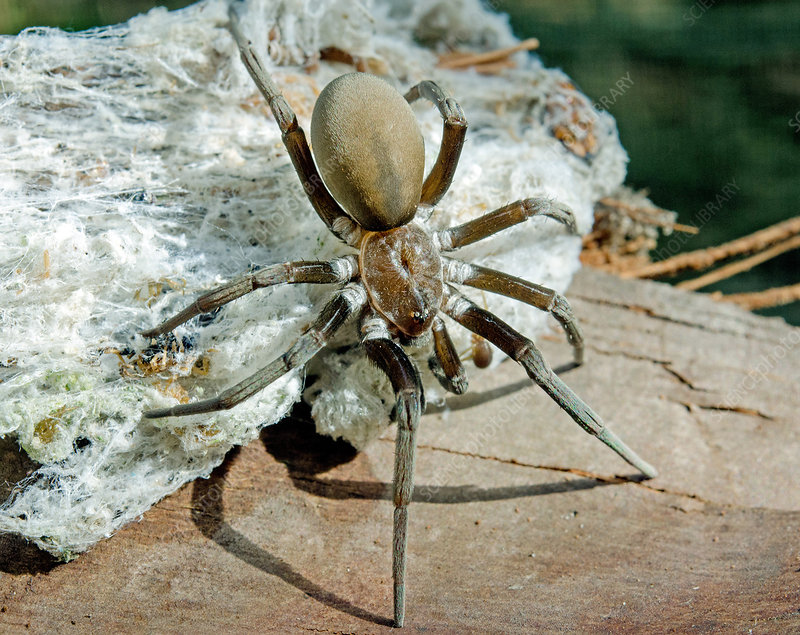 Southern Crevice Spider