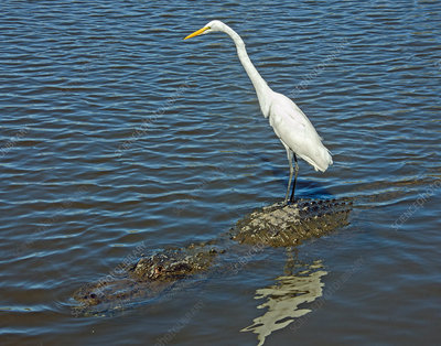Great Egret, Riding on Alligator