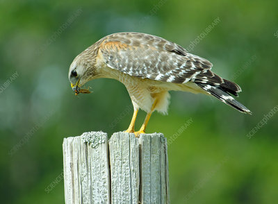 Red-shouldered Hawk eating mole cricket