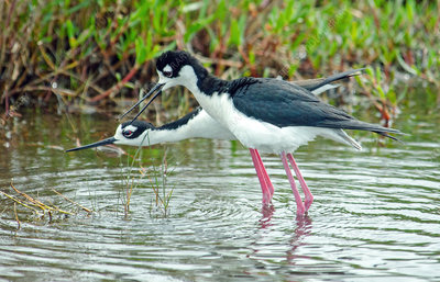 Black-necked Stilts courting
