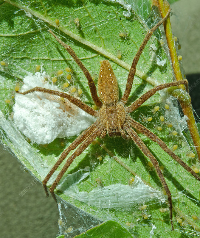 Nursery-web Spider with babies