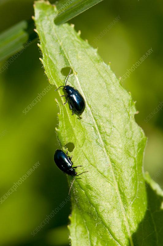 Flea beetles on a damaged leaf