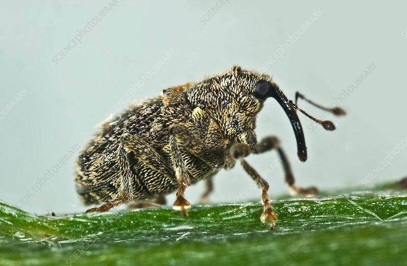 Cabbage stem weevil