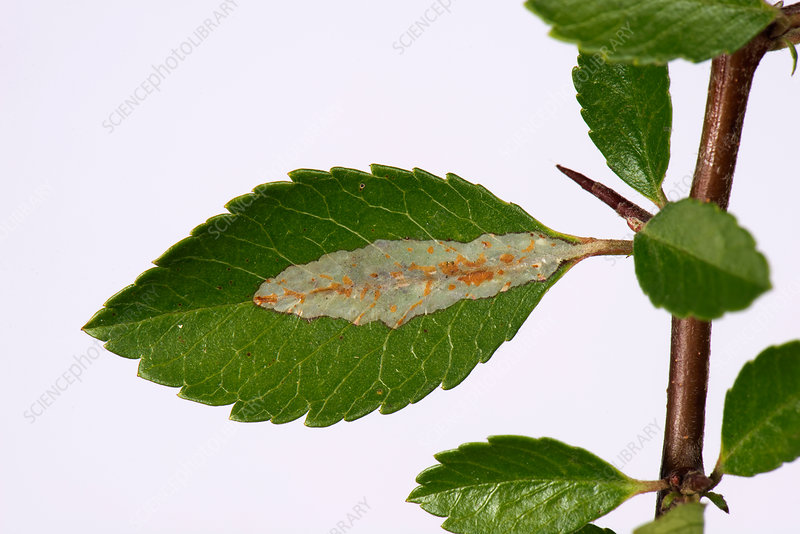 Leaf miner damage to Pyracantha