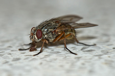 Housefly on kitchen counter
