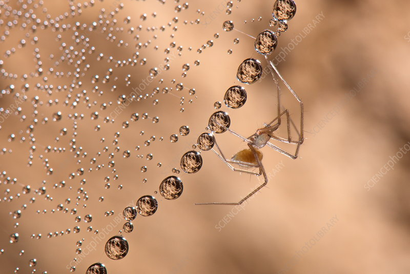 Cave sheet-web spider
