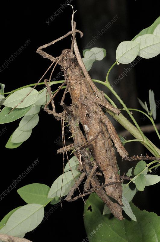 Stick insects (Haaniella echinata)