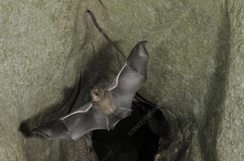 Cantor's Roundleaf bat in Flight