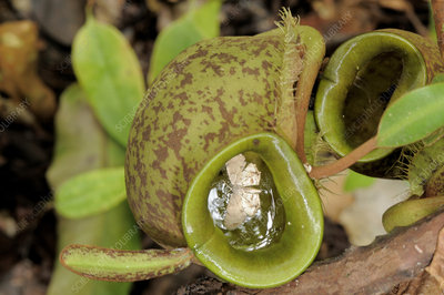 Moth in Pitcher Plant