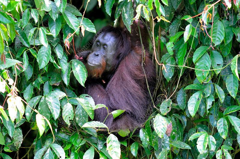 Bornean orangutan, Malaysia