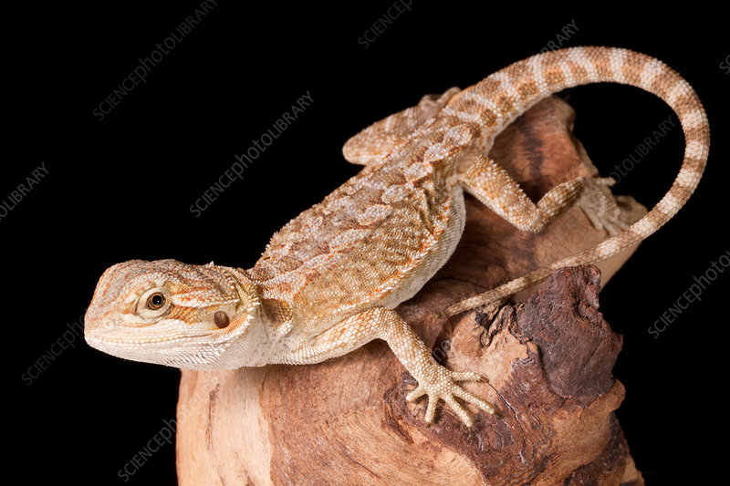 Bearded Dragon (Pagona)