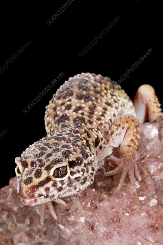 Leopard Gecko (Eublepharis macularius) on quartz