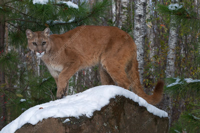 Mountain Lion in Boreal Forest
