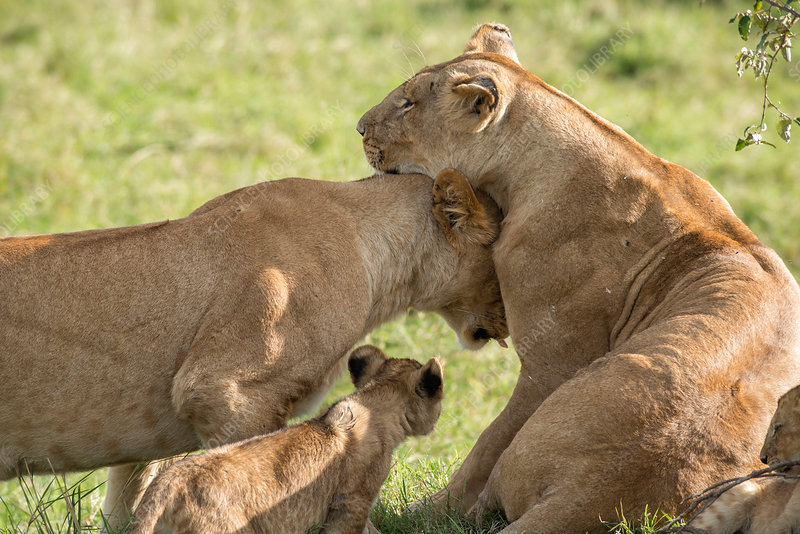 Nuzzling Lions, Kenya