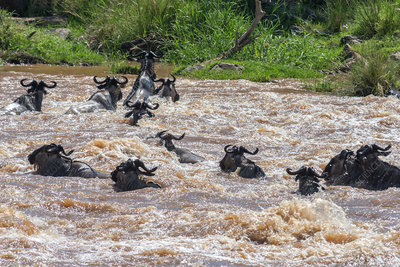 Blue Wildebeest Crossing River