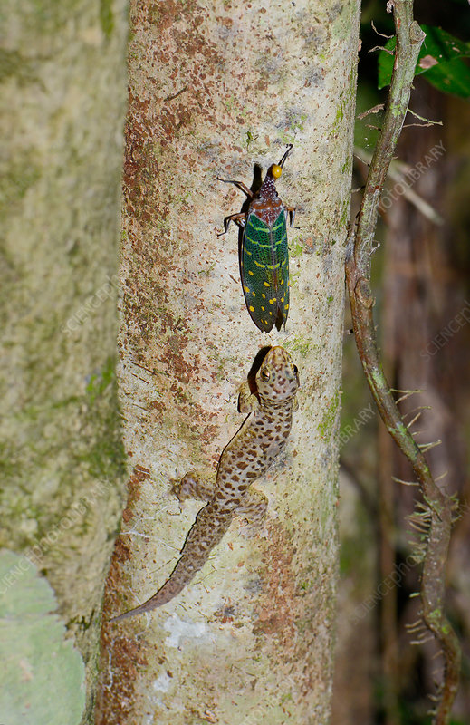 Gecko taking sugar drops from lanternbug