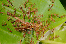 Weaver ants attacking grasshopper