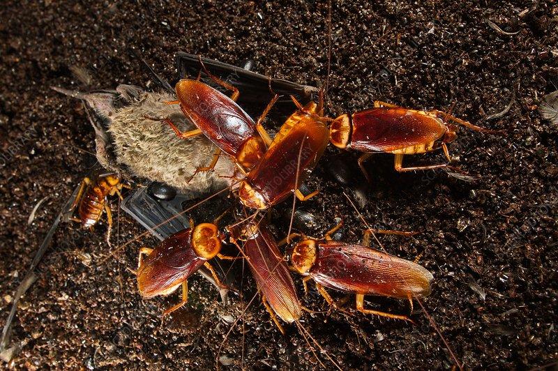 Roaches feeding on dead bat