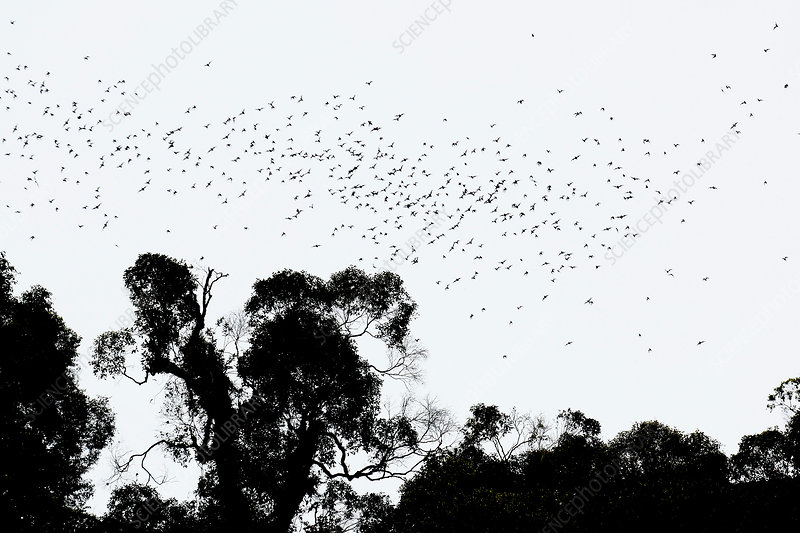 Wrinkled-Lipped Bats emerging from Deer Cave
