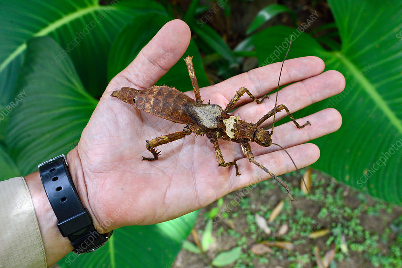 Jungle nymph phasmid on hand