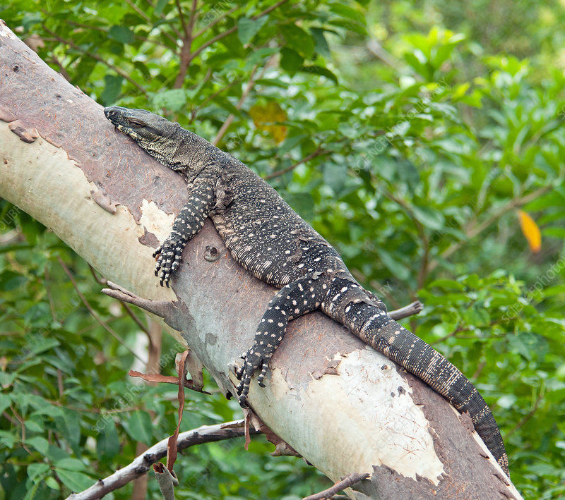 Lace Monitor, or Goanna