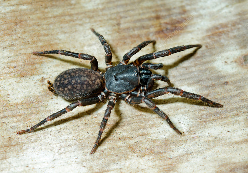 Queensland Funnel-web Spider
