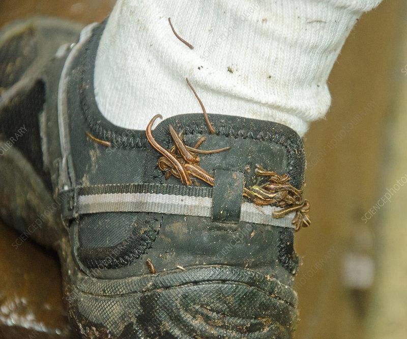 Australian Land Leeches