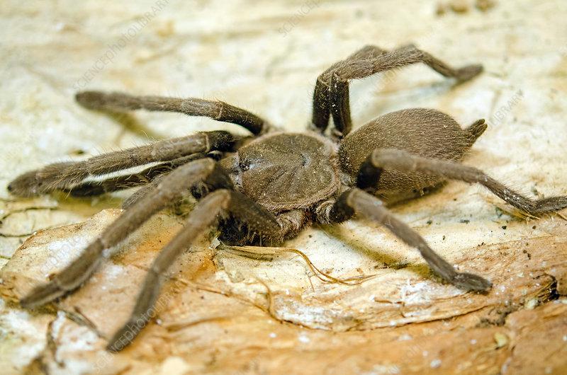 North Queensland Tarantula