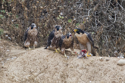 Peregrine Falcon with Chicks