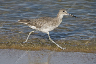 Willet on the Run