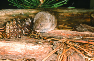 Woodland or Pine Vole