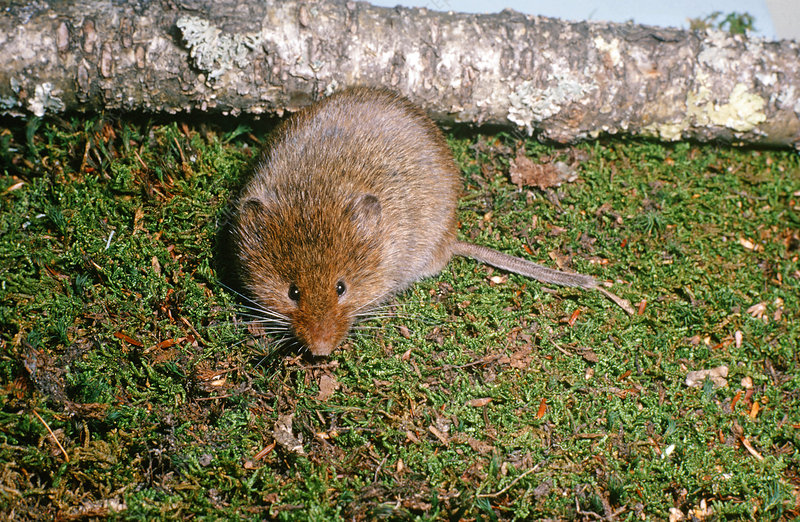 Rock Vole or Yellow Nosed Vole