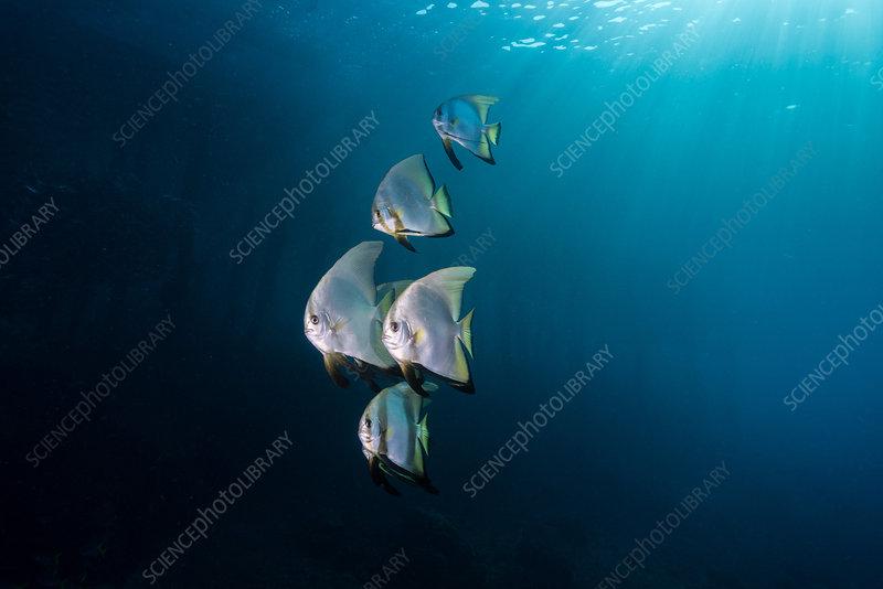 Longfin Batfish, Indonesia